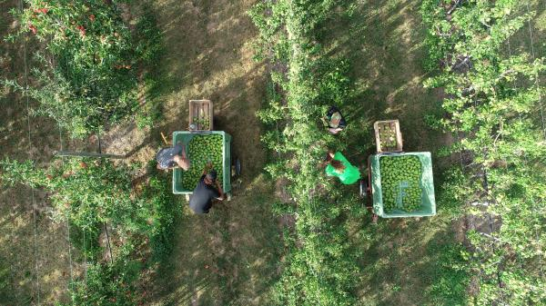 Récolte des poires